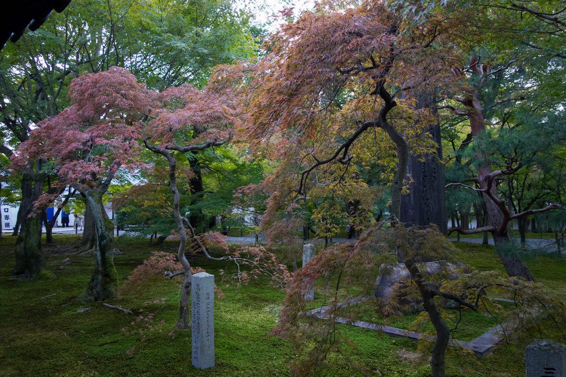 érables du japon à kyoto